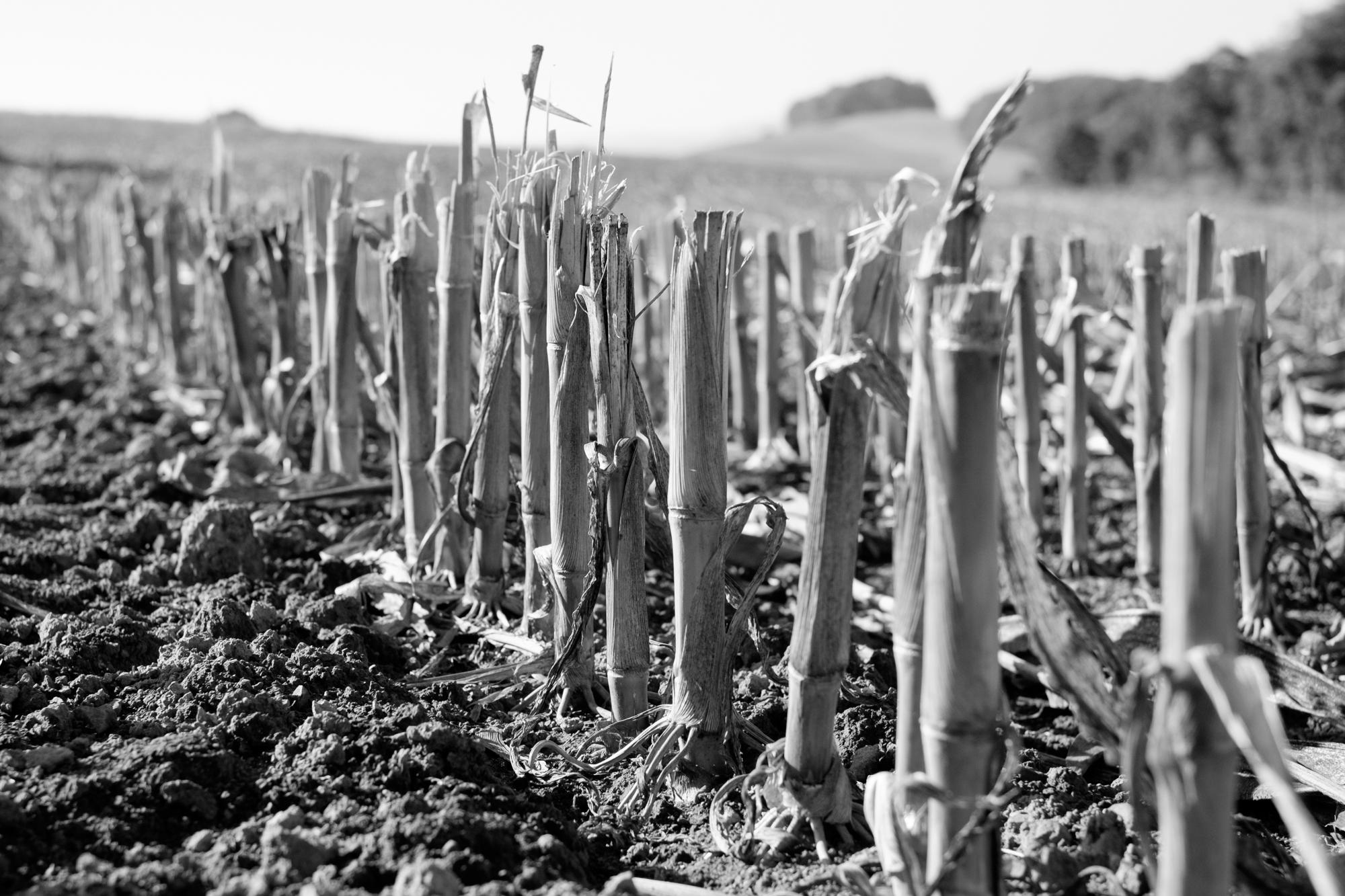 Maisfeld nach Ernte