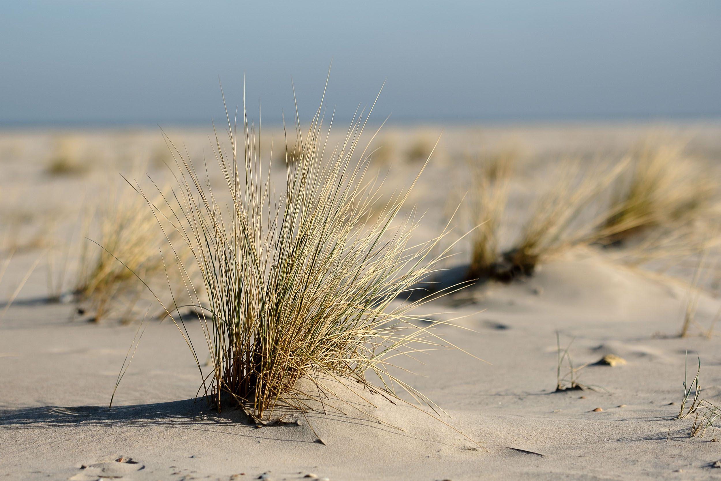 Dünengras Strand Norderney