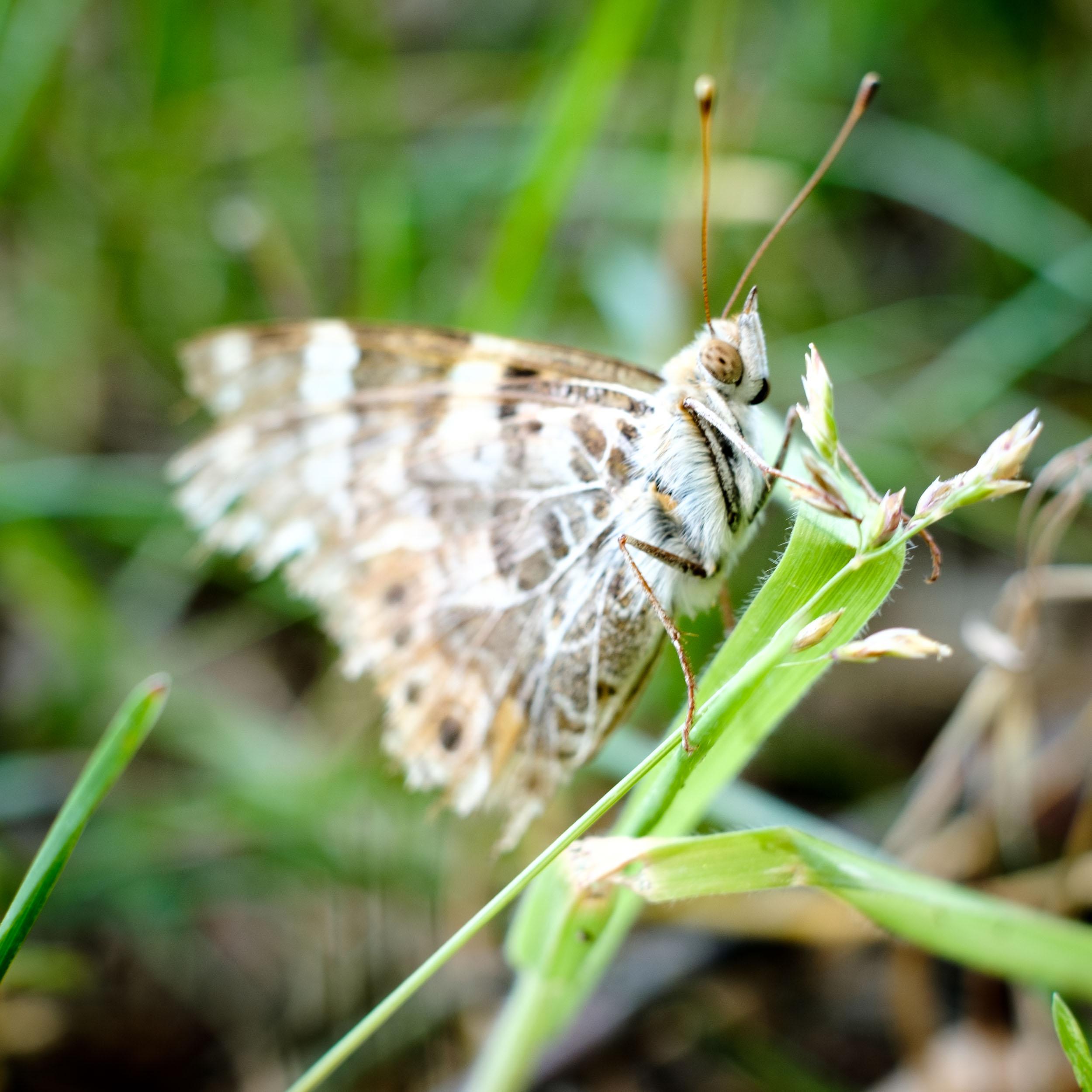Schmetterling Macrofotografie