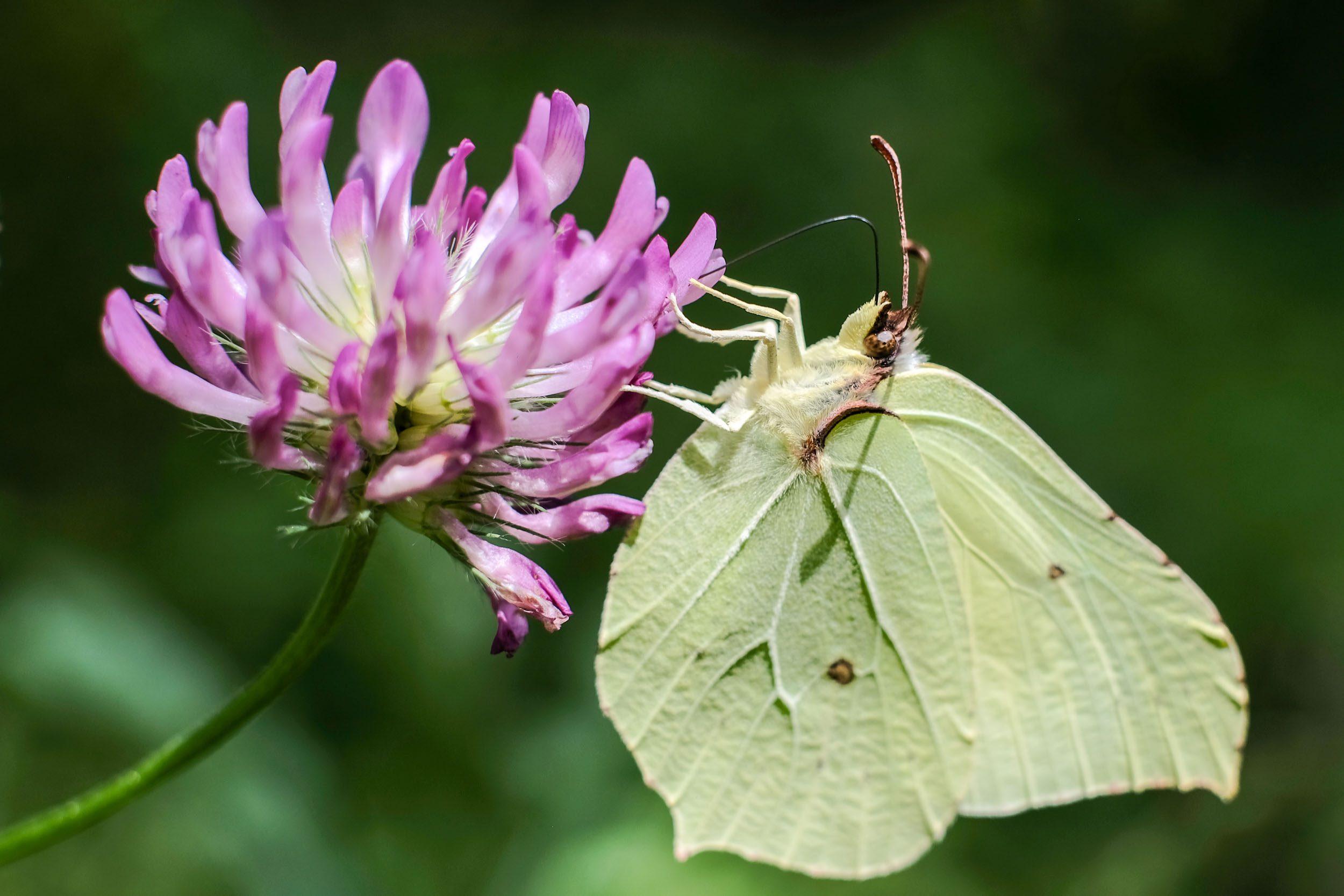 Schmetterling Macrofotgrafie