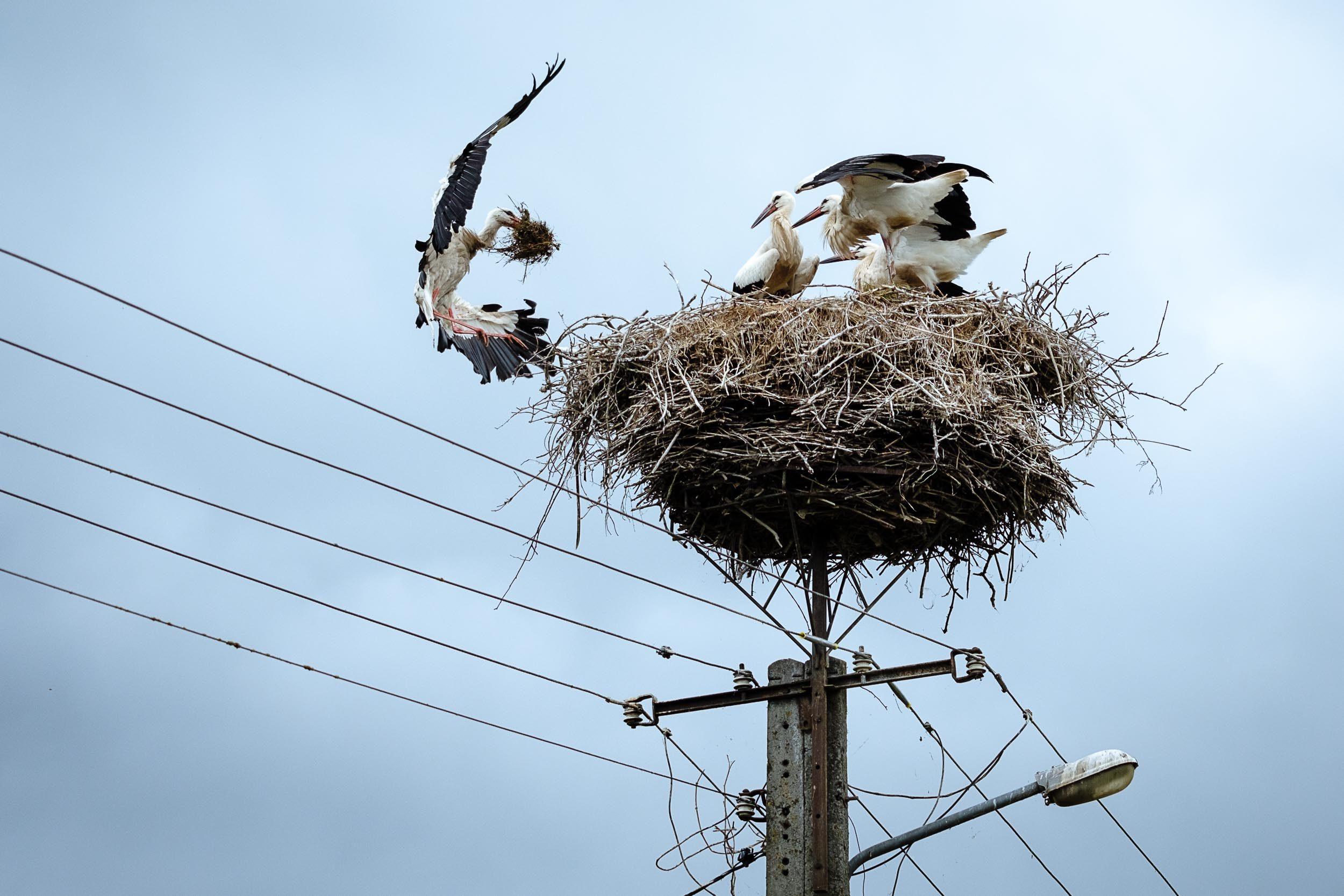 Storch im Anflug auf Nest, Masuren