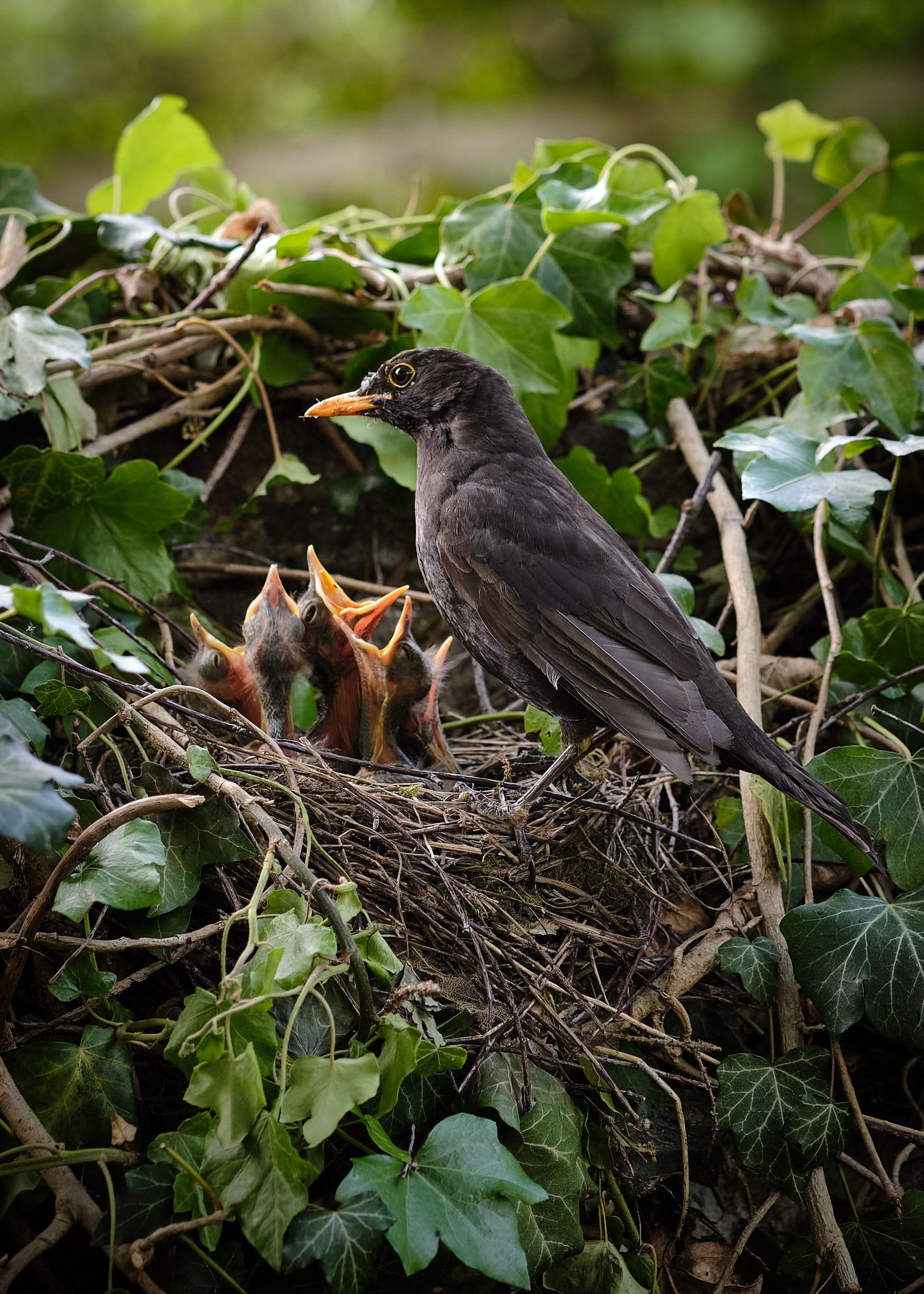 Amsel Fütterung Nest