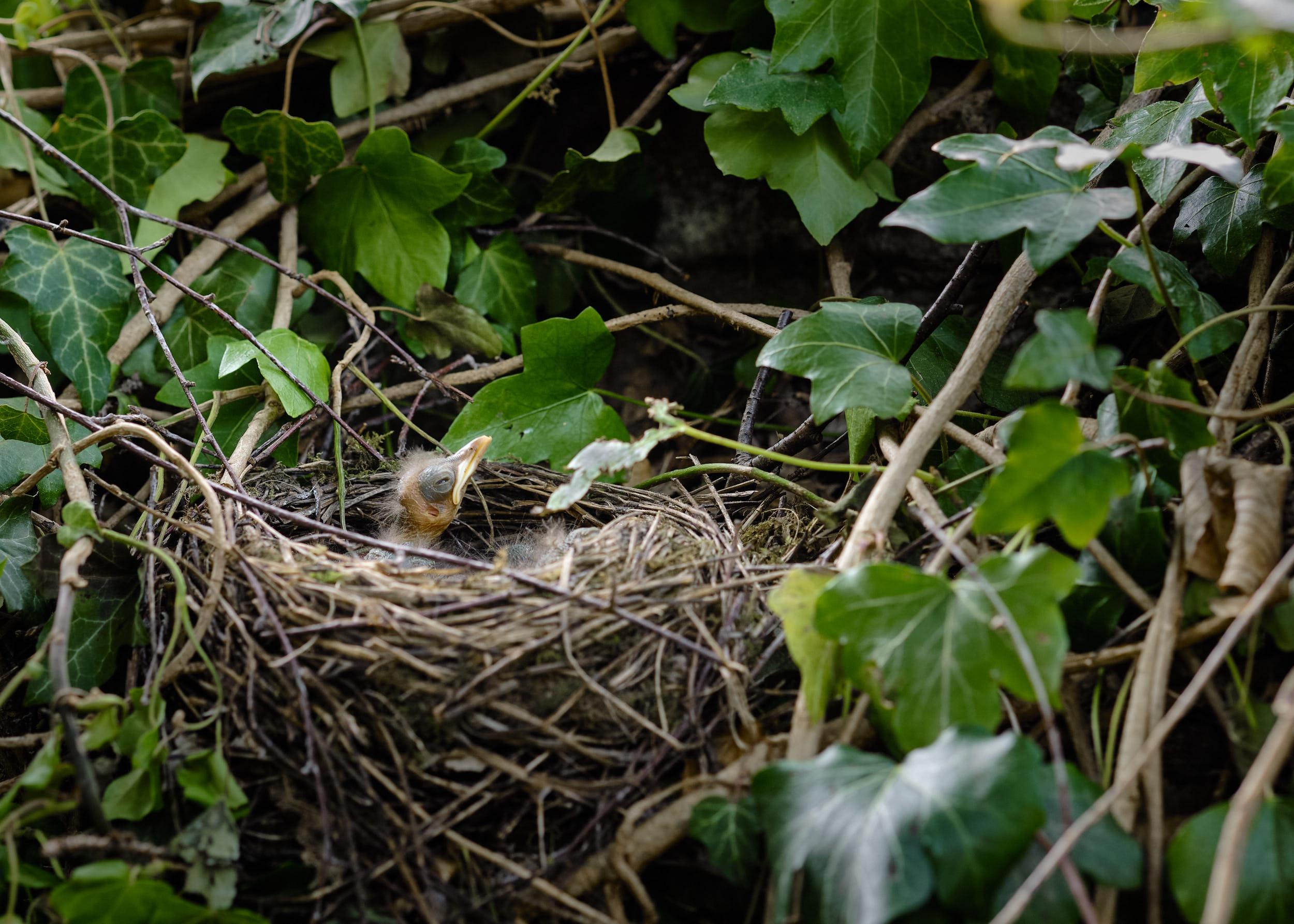 Amselküken im Nest