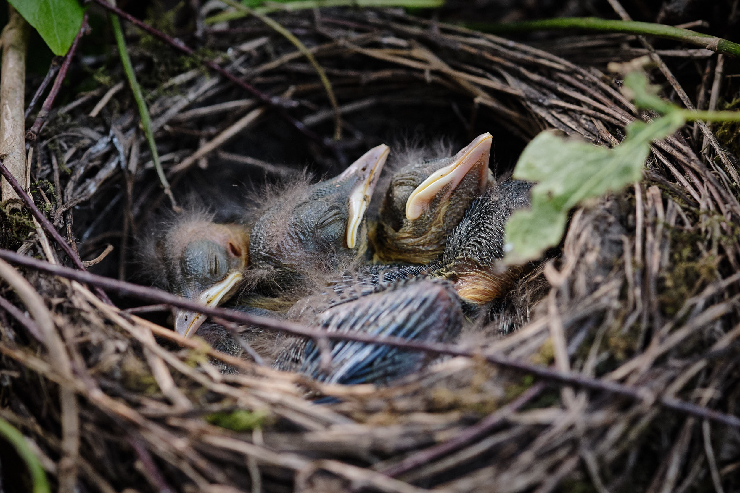 Amseküken im Nest