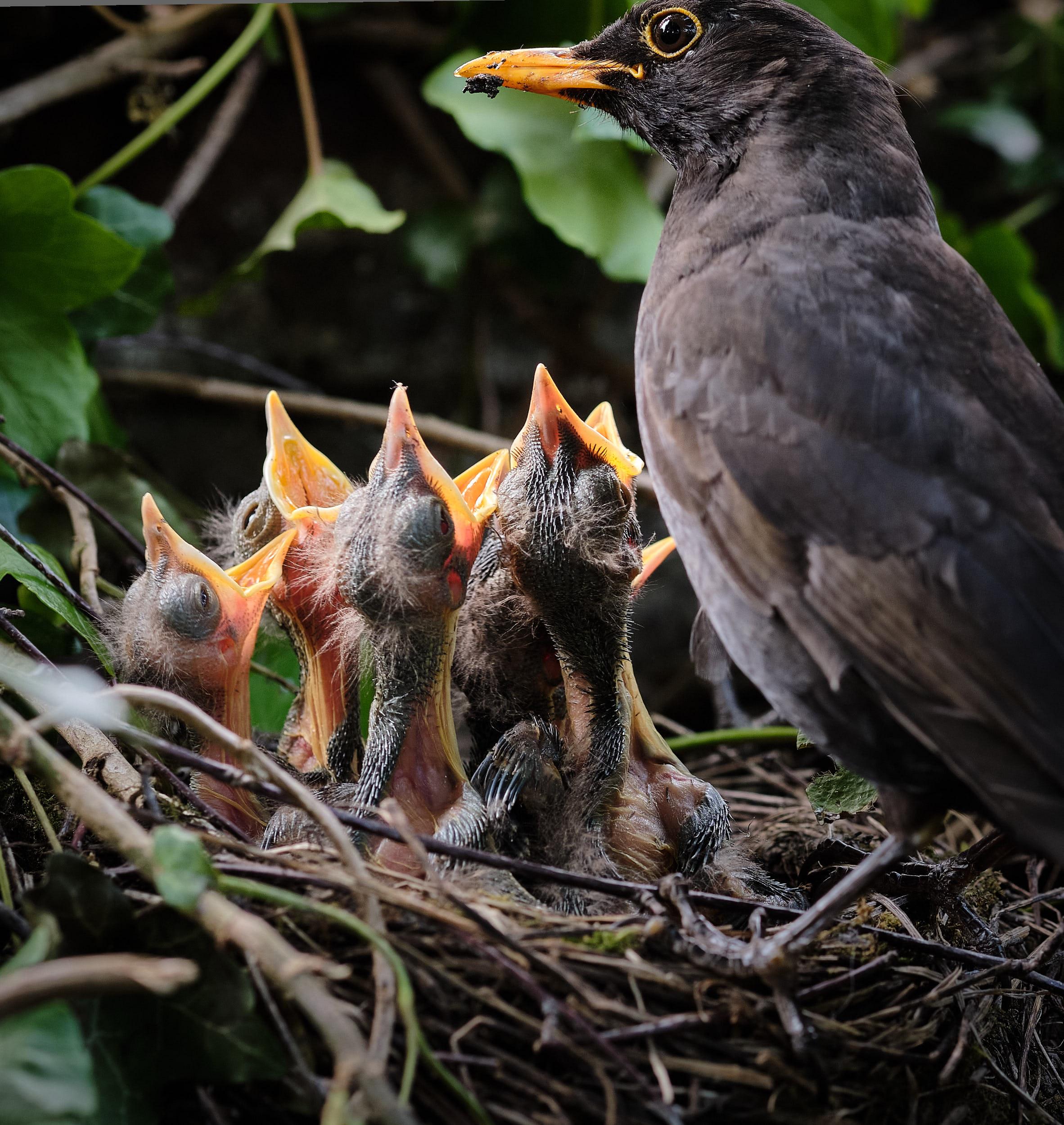 Amsel mit Jungen im Nest