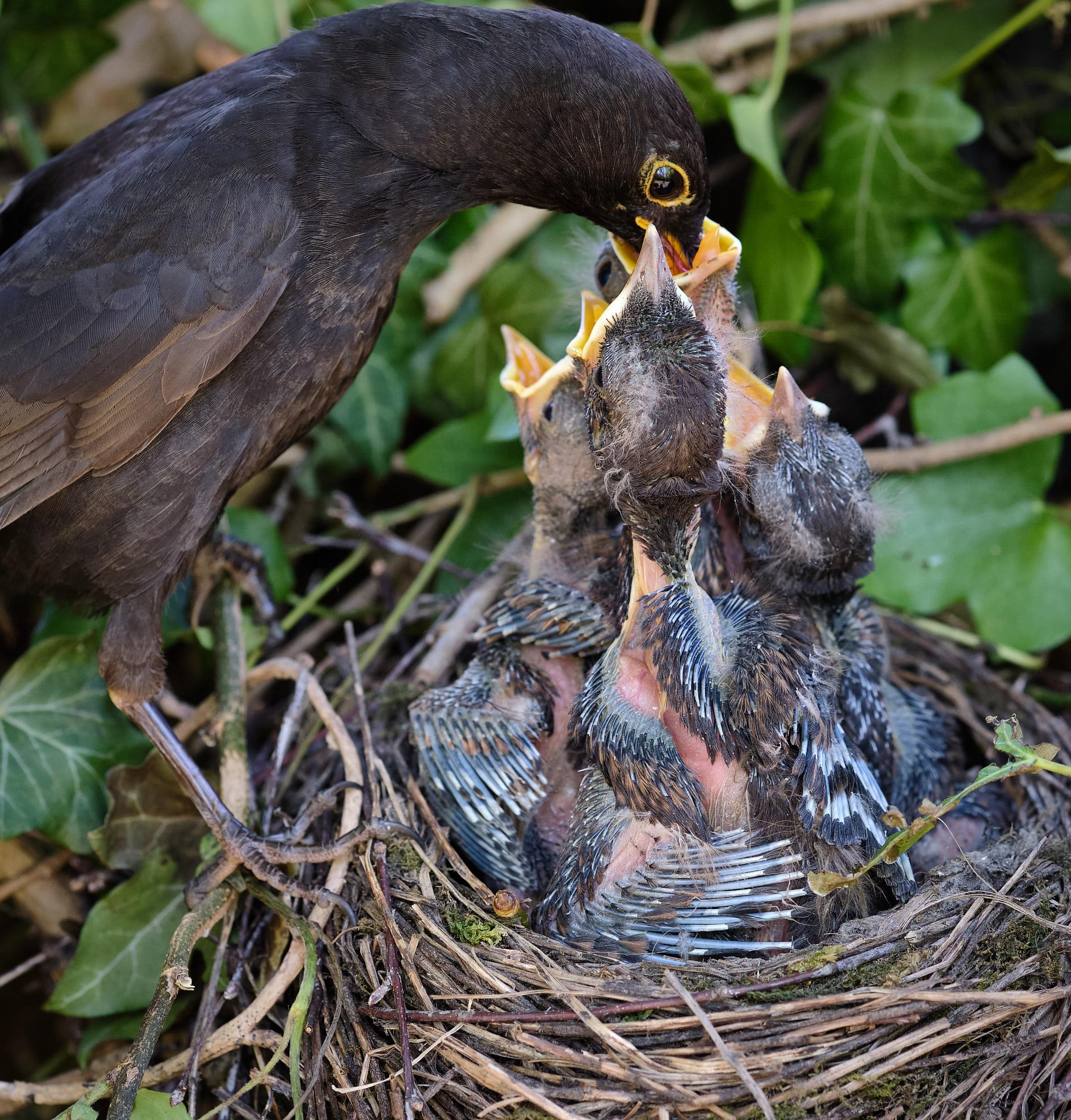 Amsel mit Jungen im Nest bei der Fütterung