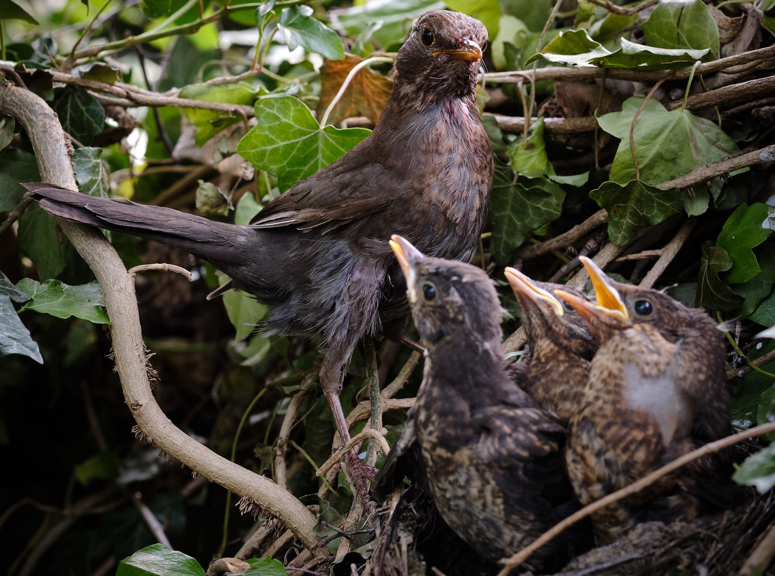 Amsel am Nest