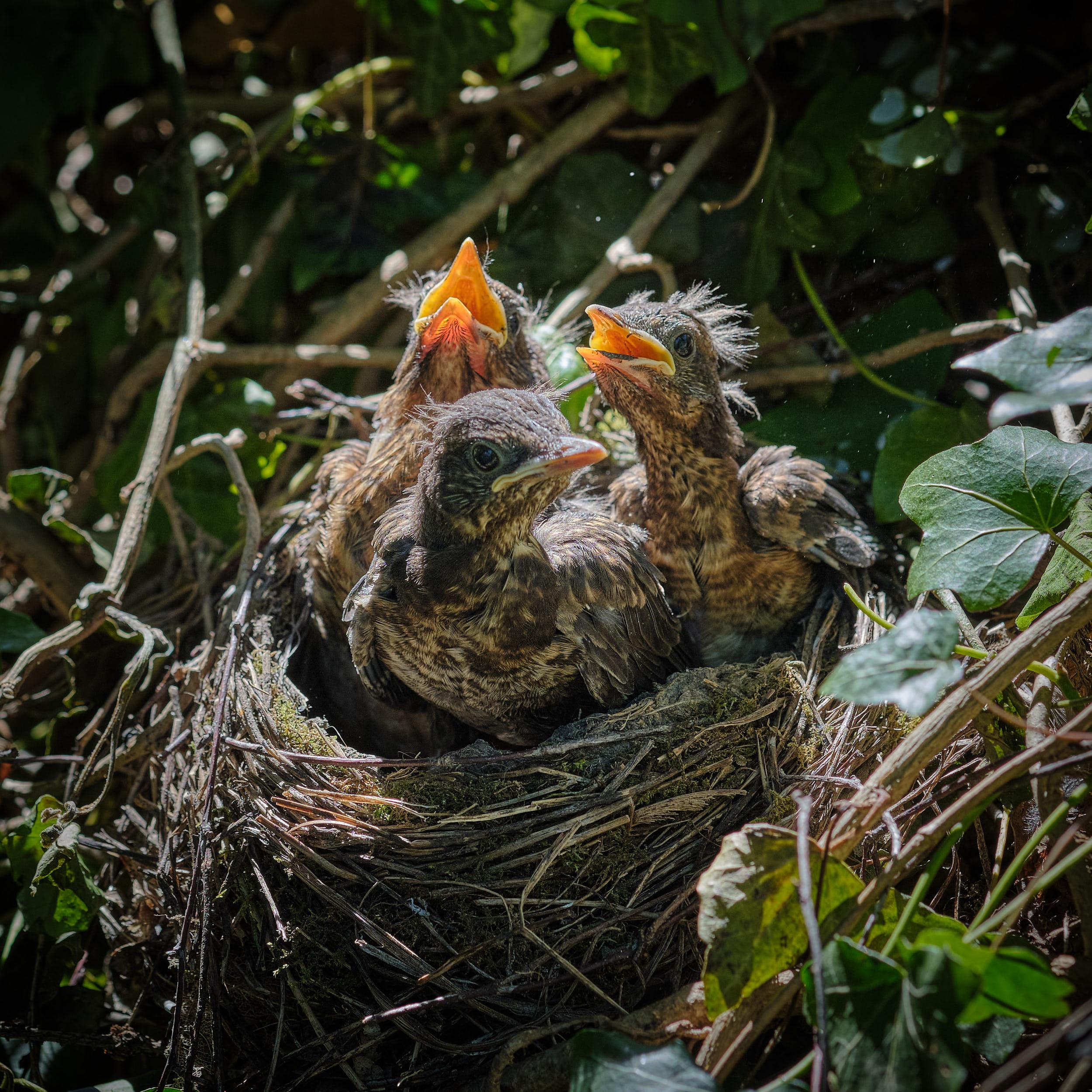 Amseln im Nest
