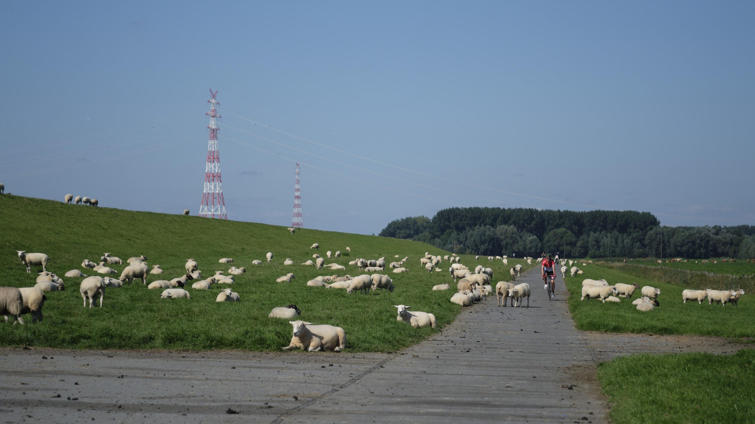 Schafe haben ein dickeres Fell als RadfahrerInnen